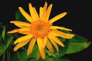 L'arnica, cette plante que tout le monde semble connaître