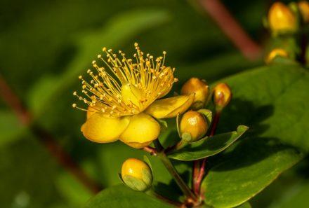 Le millepertuis, une plante incroyable…